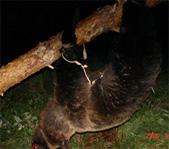 Охота на медведя сентябрь 2006г.  (Челябинская область).