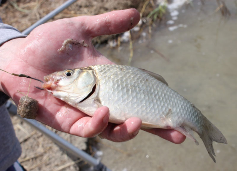 карась рыба видео
