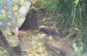 Охота на барсука Способы охоты, их особенности и
