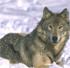 Особенности охоты на волка. Подготовка к охоте. Флажки. Привада. Выслеживание на охоте...